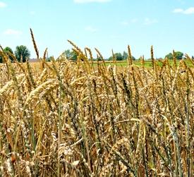 Cash Grain Bids